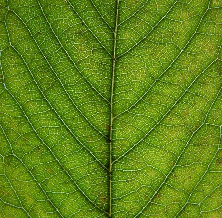 close up of an green early autumn leaf showing veins and cells