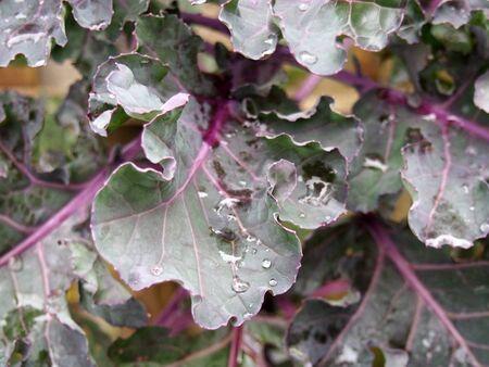 Cerca de hojas de col rizada púrpura orgánica con gotas de lluvia listas para ser cosechadas en otoño
