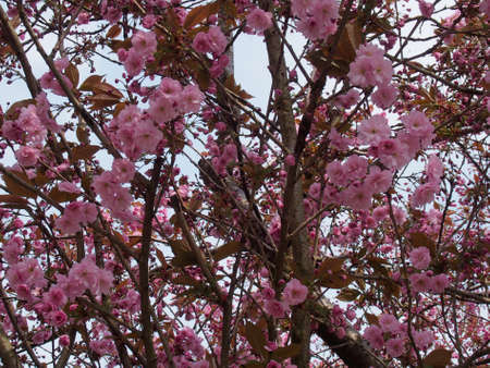 many petaled pink cherry blossom flowers on a tree against blue sky Stock Photo