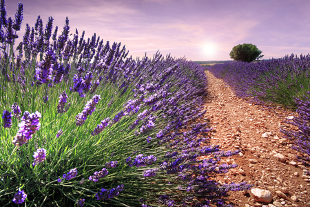 Nice view in the field of lavender in Provence (France)
