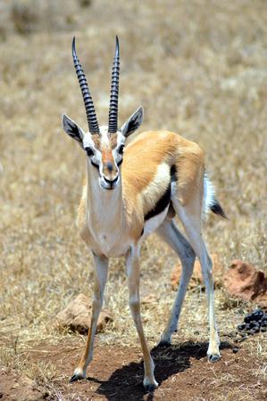 tanzania antelope: An antelope in Tanzania.