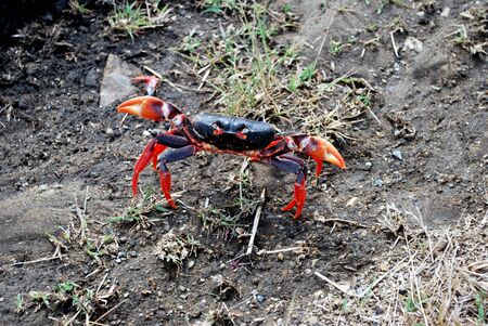 dominican: A small black and red crab in Dominican public ? Book. Stock Photo