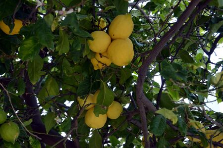 lulav: A cluster of lemons on a tree. Stock Photo