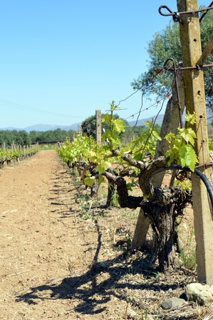 coward: Vineyards in flowers in the Cretan campaign in Greece.