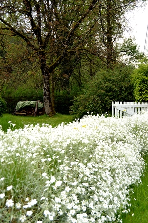 marguerites: Wall of marguerites with an old oak and a white barrier.