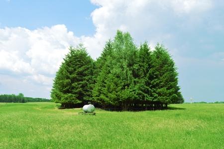 wheatfield: Island of fir tree in triangle in a wheatfield.