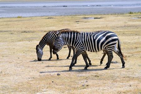 Three zebras grazing in a meadow of a park in Tanzania