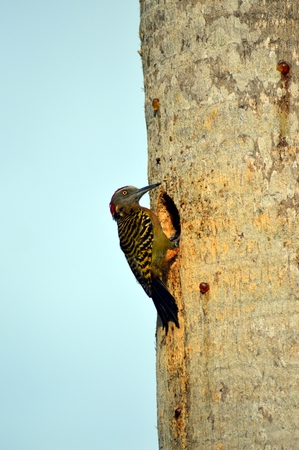 clinging: Pic of Hispaniola male clinging to a tree trunk in front of its nest