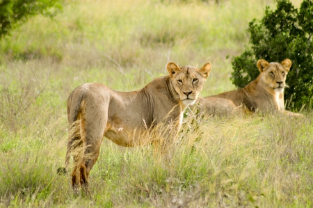 under a tree: Two lionesses lying under a tree