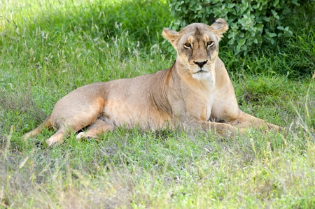 under a tree: A lioness lying under a tree