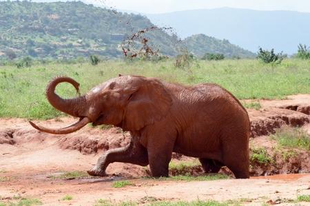 red elephant taking a mud bath