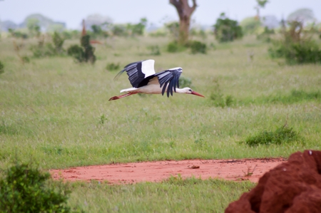 Stork in flight over the savanna Stock Photo