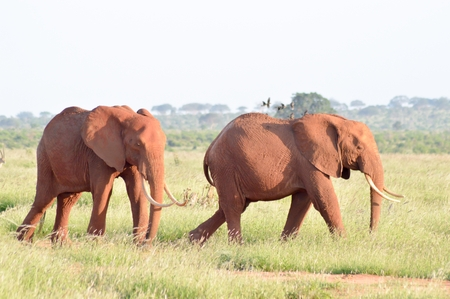 Two elephants walking one behind the other in the savanna Stock Photo