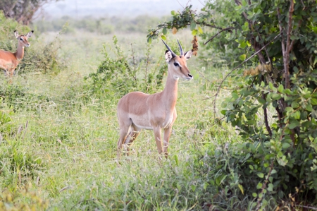 Impala with defense in the savanna Stock Photo