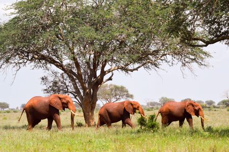 Three Red Elephants isolated in the savannah of Tsavo East Park in Kenya