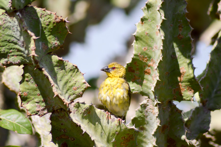 Weaver posing on a cactus in East Tsavo Park in Kenya