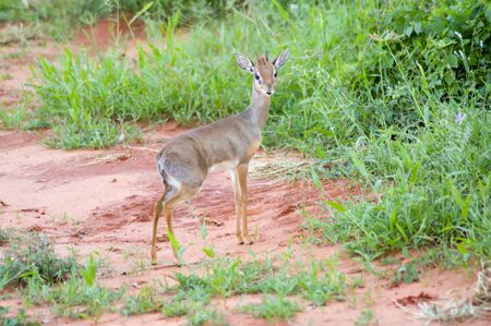 interrogativa: Dik dik with an interrogative look at East Tsavo Park in Kenya