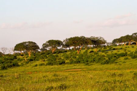 Several Acacia in the savannah of East Tsavo in Kenya Stock Photo