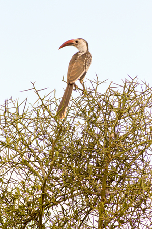 Hornbill on a branch in Tsavo West Park in Kenya