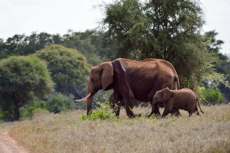 An elephant and his little one in a walk in the savanna of the park Tsavo West in Kenya
