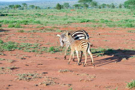 Zebra and her cub in West Tsavo Park in Kenya