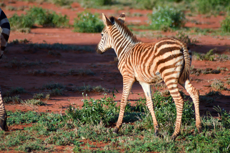 Small zebra who am his mother in West Tsavo Park in Kenya