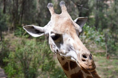 Giraffe head in a park in Mombasa, Kenya Stock Photo