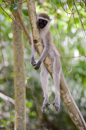 Monkey vervet in a relaxed position on a branch in Mombasa, Kenya