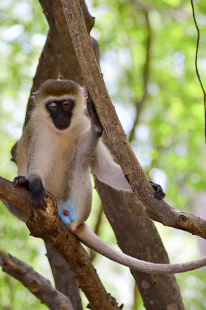 Monkey vervet on a tree with genital parts exposing in a park in Mombasa, Kenya