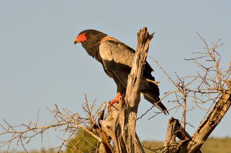 Eagle fasciated on a dead tree in Tsavo West Park in Kenya