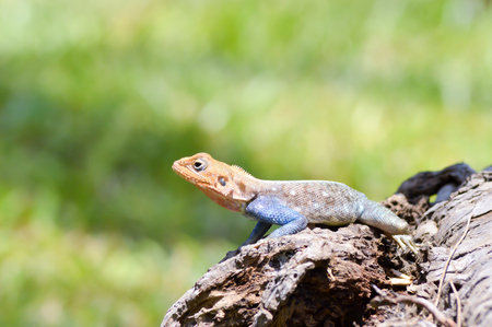 Lizard of all colors on a trunk in a garden of Mombasa in Kenya