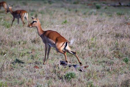 Impala squatting in the savannah of West Tsavo Park in Kenya
