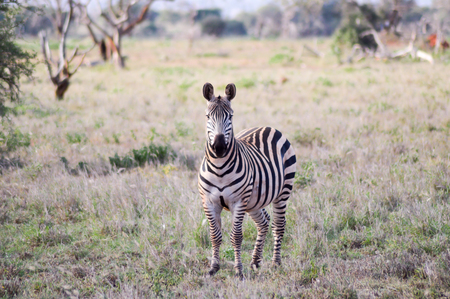 interrogative: Zebra with an interrogative look isolated in the savanna of the Tsavo West park in Kenya