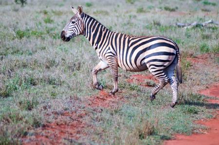 Zebra lying in the savanna of Tsavo West Park in Kenya