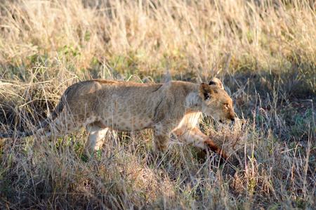 Lion, mouche, marche, ouest, Tsavo, parc, kenya
