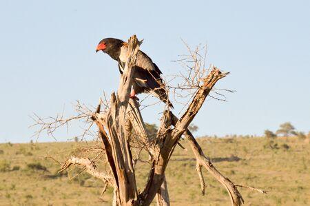 Eagle fasciated on a dead tree in Tsavo West Park in Kenya