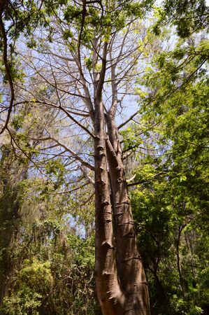 arbres: Tree with two trunks in a park in Mombasa in Africa in Kenya