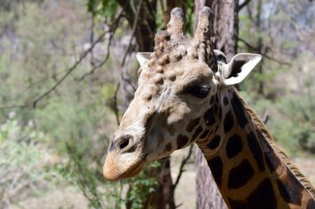 Giraffe head with several abscesses in a park in Mombasa, Kenya