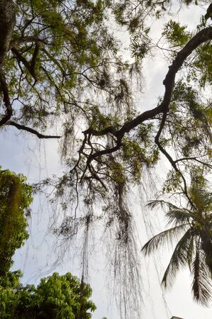 arbres: Tree with a falling branch in a park with the Indian Ocean in Kenya in Africa