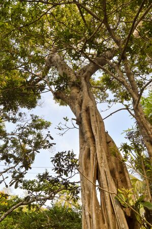 arbres: Trunk of a choke fig in an animal park in Kenya, Africa