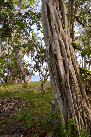 arbres: Trunk of a strangler fig in a park with the Indian Ocean in Kenya in Africa