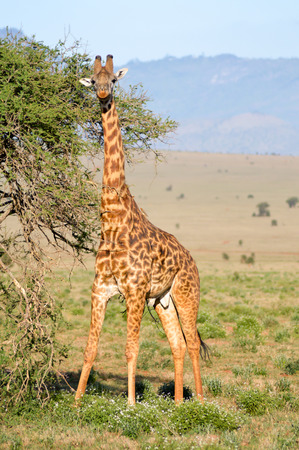 Giraffe restores itself in the branches of an acacias in the park of Tsavo West in Kenya Banco de Imagens