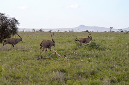dirtied: Three oryx grazing in the savanna of West Tsavo Park in Kenya