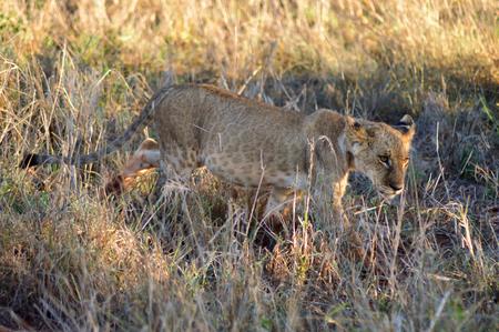 Lion, mouche, marche, ouest, Tsavo, parc, kenya Banque d'images