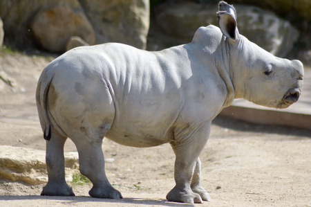 nakuru: Young rhinoceros on a rock background in a wildlife park in France Stock Photo