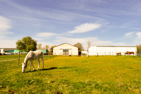 Several Gray-colored Stallions grazing in the department of the Meuse in France