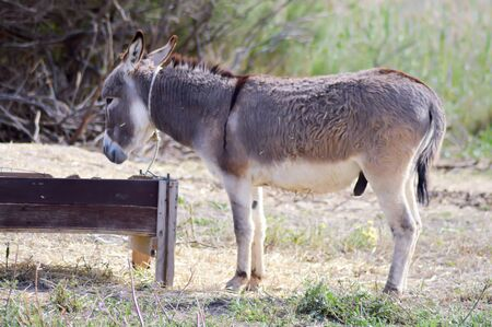 jack ass: A donkey in front of his trough In a meadow on the island of Crete