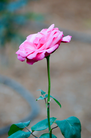 Pink rose in the garden of a hotel in Crete Stock Photo