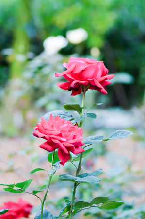 white wine: Red rose in the garden of a hotel in Crete Stock Photo