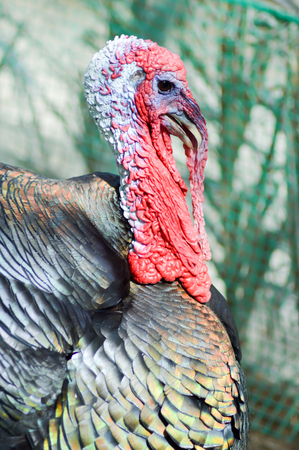 drover: View of a turkey head in a chicken coop
